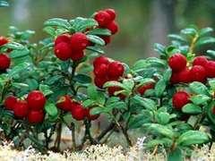 В Швеции взбунтовались занятые сбором ягод китайцы