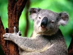 Австралийцы позвали британцев поработать ловцами коал