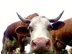 Пропавшая корова нашлась под землей