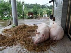 В Иллинойсе состоялись соревнования по зазыванию мужей и свиней