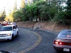 Две зебры устроили забег по калифорнийскому городу