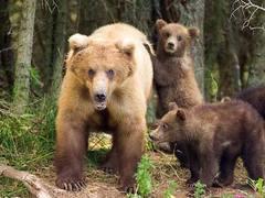 Семья медведей навестила туристов в шведском лесу