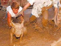 В Монтане сорвались соревнования по свиному рестлингу