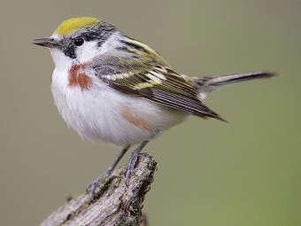 Певчие птицы время от времени