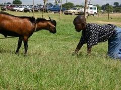 Пенсионера госпитализировали после нападения козы