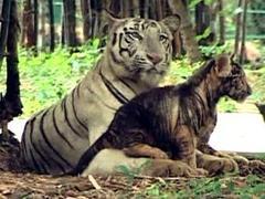 В индийском зоопарке почернел белый тигренок