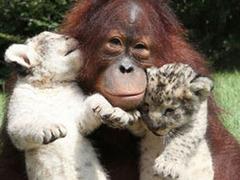 Орангутан стал приемным отцом двум львятам