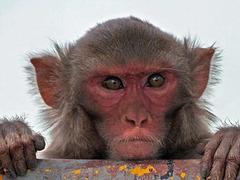 В Индии появилась ворующая очки обезьяна