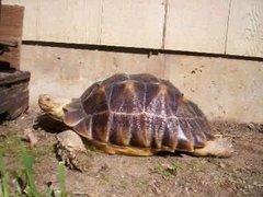 Из магазина в Делавере украли 22-килограммовую черепаху