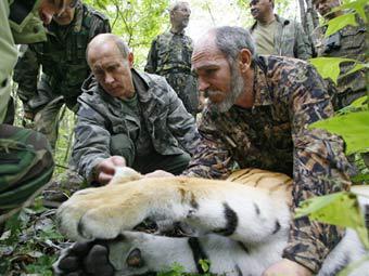Владимир Путин и ученый-зоолог осматривают амурского тигра. Фото с сайта premier.gov.ru