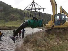 В Новой Зеландии спасли 21 дельфина-самоубийцу