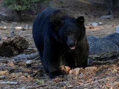 Жительница Монтаны отбилась от медведя кабачком