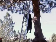 Орегонские пожарные сняли с дерева уснувшего медведя