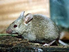 Житель Швеции ответит за обезглавливание мыши