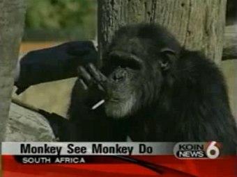 В ЮАР скончался шимпанзе-курильщик