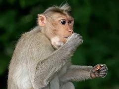 В Малайзии обезьяна похитила новорожденного ребенка