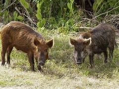 Техас займется изгнанием диких свиней