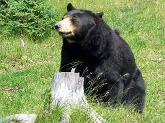 В США медведи напали на любителя жареной курицы