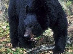 Коровы отбились от голодного черного медведя