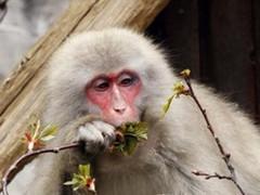 В Японии поймали терроризировавшую людей макаку