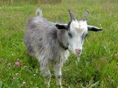 Китаец научил танцующую козу охранять дом
