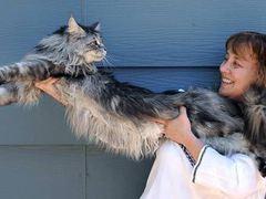 123-сантиметровый кот попал в Книгу рекордов Гиннесса