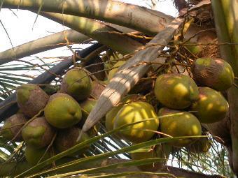 Кокосовые орехи, фото с сайта wikipedia.org