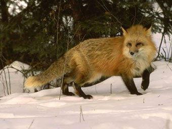 В Белоруссии лиса выстрелила в охотника из ружья.