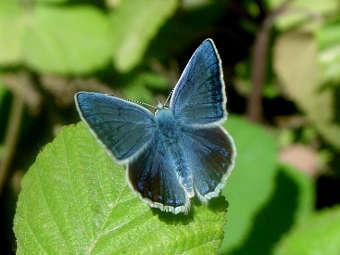 Бабочка рода Polyommatus. Фото с сайта montclair.edu