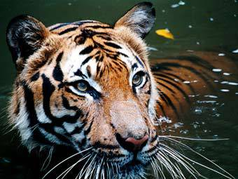 Жительница Малайзии избила тигра половником