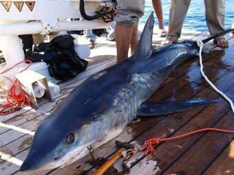 Нападения акул на туристов в Египте. shark02 Нападения акул на туристов...