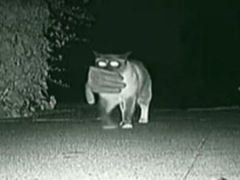 Кот-клептоман станет почетным гостем парада домашних животных.