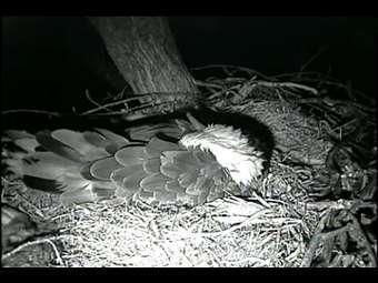 Самка белоголового орлана в гнезде. Кадр из видеозаписи проекта Raptor Resource Project