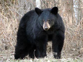Черный медведь.  Фото с сайта photohunter.info.