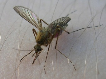 Латвийцы превзошли эстонцев в убийстве комаров
