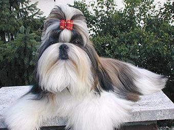 фото собаки ши тцу.