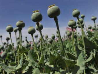 Плантация опиумного мака в Афганистане. Фото ©AFP