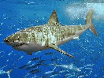 Несмотря на опасность, недавнее появление акул вблизи берега Приморского...