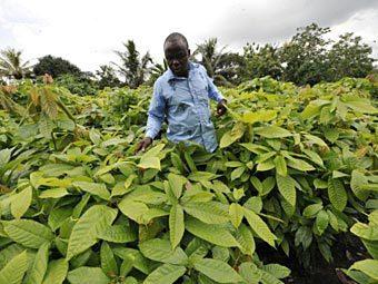 Плантация какао. Фото ©AFP