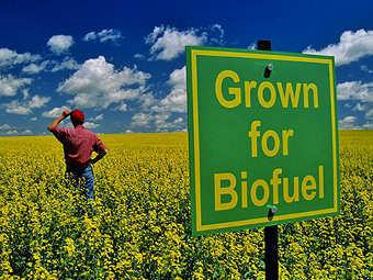 """""""Выращивается для биотоплива"""". Фото с сайта infobarrel.com"""