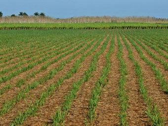 Поле сахарного тростника на Кубе. Фото ©AFP