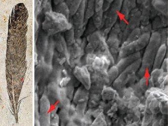 Окаменелые мелансомы (показаны стрелочками). Фото авторов исследования