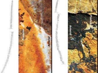 Останки надкрыльев кузнечиков. Фото авторов исследования