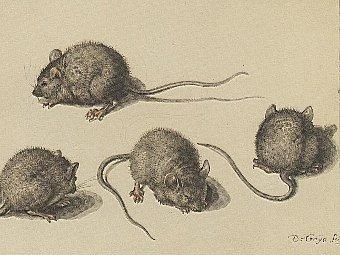 Домашняя мышь. Акварель Jacques de Gheyn (1565-1629).