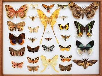 Более 70 миллионов экспонатов, в том числе эти бабочки, находятся в Британском музее естественной истории. Фото с сайта музея www.nhm.ac.uk