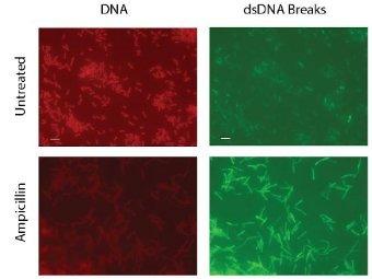 Под воздействием ампициллина у бактерий повреждается ДНК. Поврежденная ДНК светится зеленым, клетки окрашены красным. Фото из статьи авторов Foti et al.