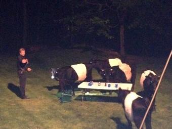 Коровы на вечеринке. Фото полиции Боксфорда