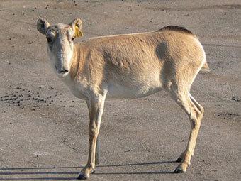 Сайгак. Фото с сайта vesti.kz