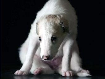 Борзой щенок. Фото с сайта dogs.ru
