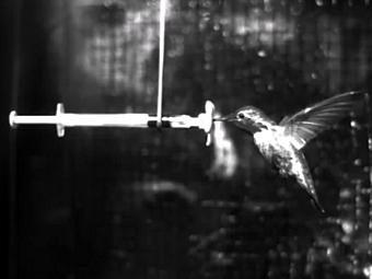 Полет колибри во время дождя. Кадр из видео исследователей - Victor M. Ortega